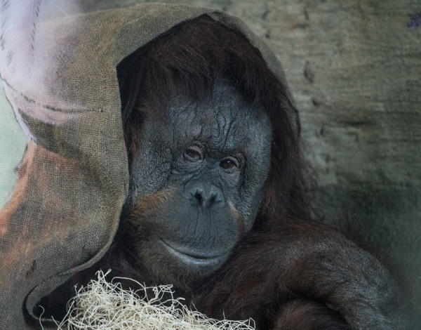 Orangutang - Wildlife - McKinlay Photos
