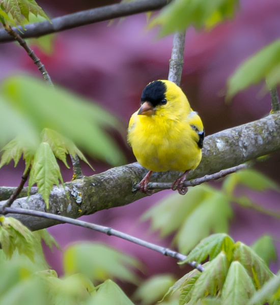 American Goldfinch - Wildlife - McKinlay Photos