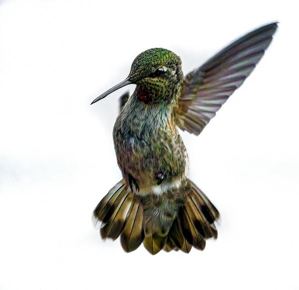 Black Chinned Hummingbird - Wildlife - McKinlay Photos