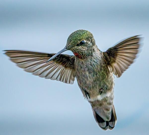 Hummingbird Juvenile - Wildlife - McKinlay Photos