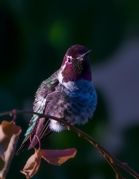 Anna's Hummingbird - Wildlife - McKinlay Photos