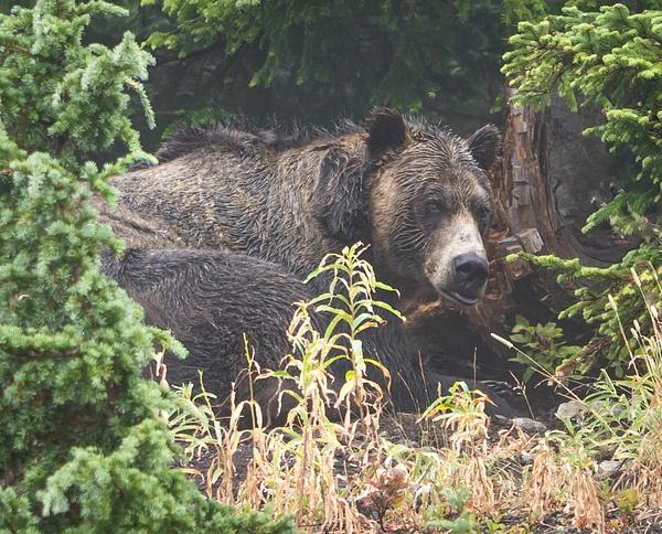 Sleepy Bear - Wildlife - McKinlay Photos