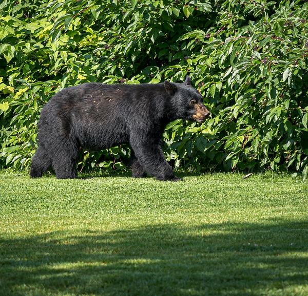 A kinder Gentler Bear - Wildlife - McKinlay Photos