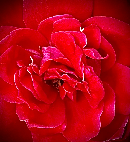 Rose - Texas - KDS Imagery Photography