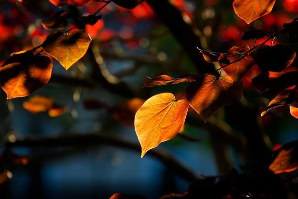 NC.REDBUD.LEAF-520_034 - Nature - Jonathan C. Watson