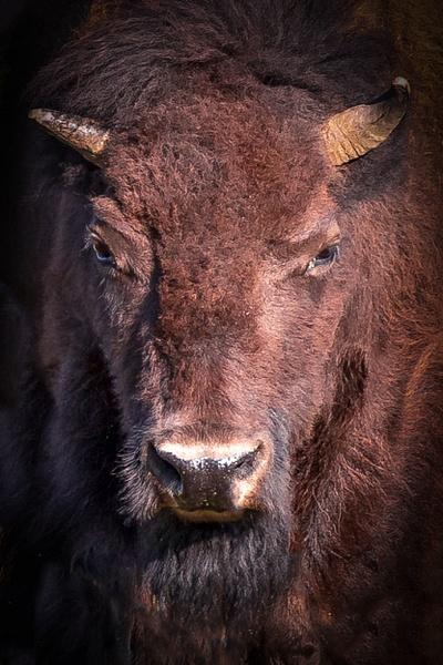 Bison at Yellowstone National Park - Wildlife Photography - John Dukes Photography