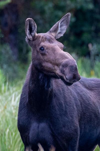 Moose Photography - Wildlife Photography - John Dukes Photography