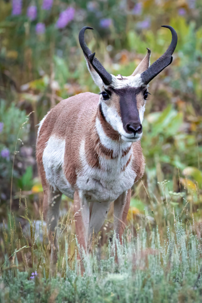 Pronghorn Photography - Wildlife Photography - John Dukes Photography