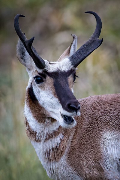 Pronghorn Photographer - Wildlife Photography - John Dukes Photography