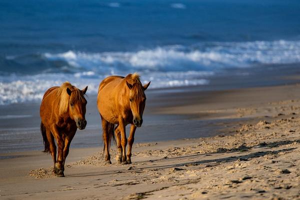 Assateague Photography - Wildlife Photography - John Dukes Photography