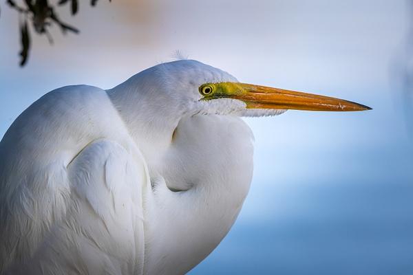 Great White Heron - Wildlife Photography - John Dukes Photography