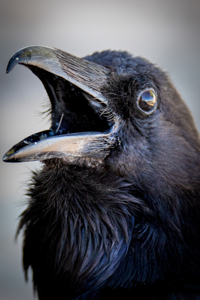 Raven-1 - Wildlife Photography - John Dukes Photography
