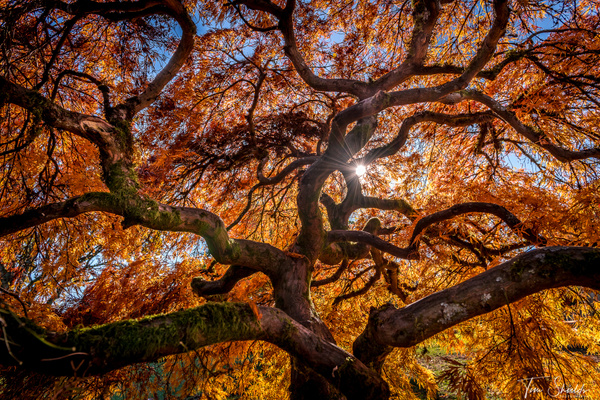 Japanese Maple 0816 16x9 - Rockscapes - Tim Shields Landscape Photography