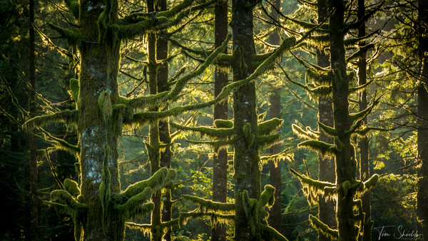 Mossy Trees 7267 16x9 - Rockscapes - Tim Shields Landscape Photography
