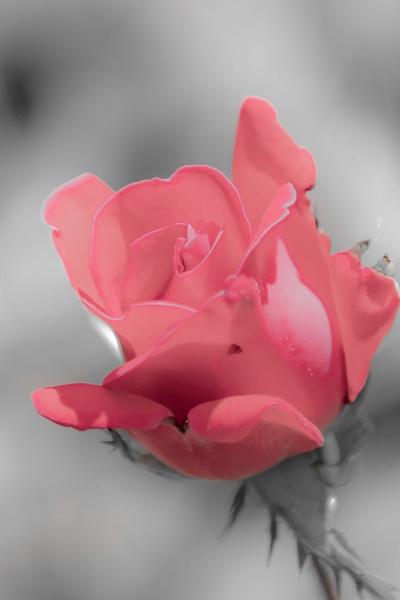 Dusty Rose_tash - Flowers - MJ Tash Photography