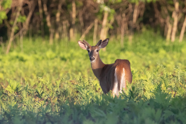 Morning Deer Light_tash - Wildlife - MJ Tash Photography