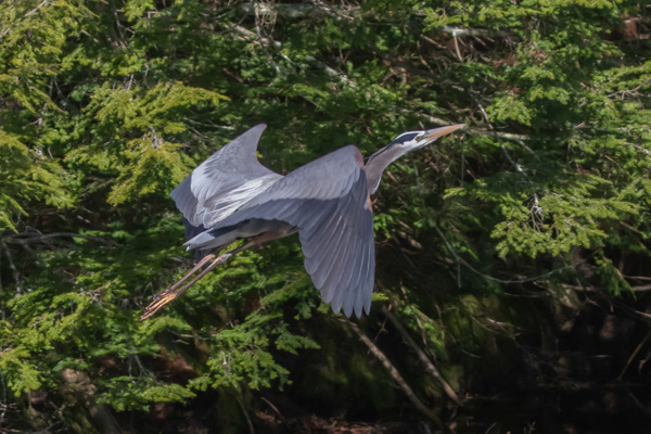 Great Blue Heron_tash - Wildlife - MJ Tash Photography