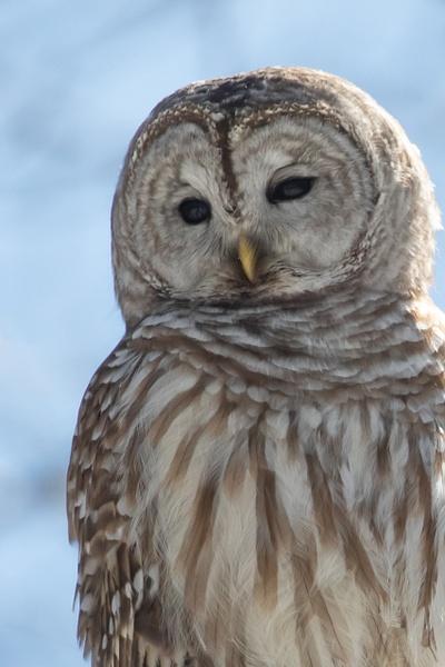 Barred Owl_tash - Wildlife - MJ Tash Photography