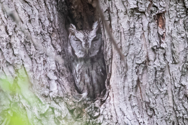 Screech Owl_tash - Wildlife - MJ Tash Photography