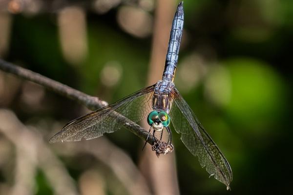Dragonfly_tash - Wildlife - MJ Tash Photography
