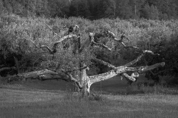 Apple tree_tash - Landscapes - MJ Tash Photography