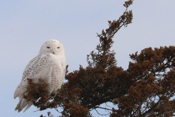 Snowy Owl _tash - Wildlife - MJ Tash Photography
