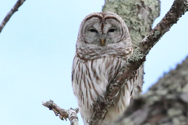 Maine Barred Owl_tash - Wildlife - MJ Tash Photography