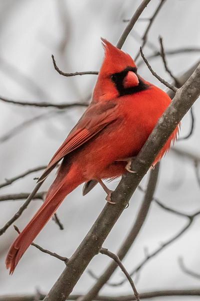 Male Cardinal_tash(43) - Wildlife - MJ Tash Photography