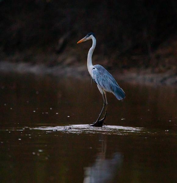 Heron in the light by Michael McNamara