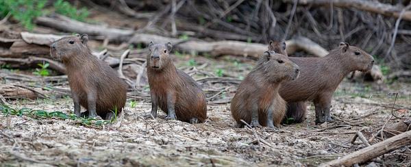Young Capibaras by Michael McNamara