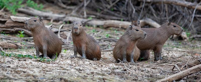 Young Capibaras