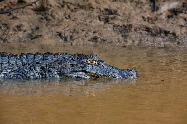 Croc at rest by Michael McNamara