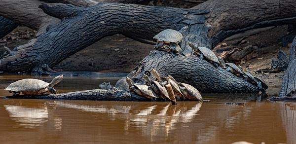 Turtles Basking#2 by Michael McNamara