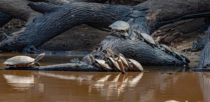 Turtles Basking#2