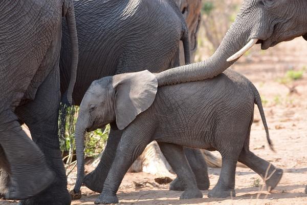 Tenderness, Chobe National park by Jack Kleinman