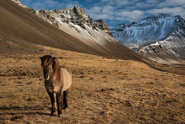 Icelandic Horse 2 by Jack Kleinman