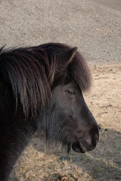 Icelandic Horse 3 by Jack Kleinman