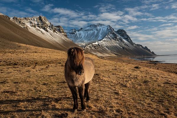 Icelandic Horse 1 by Jack Kleinman