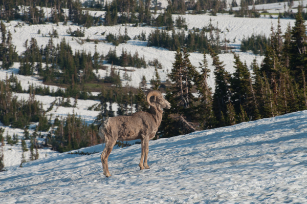 Bighorn Sheep in Snowy Landscape by Jack Kleinman