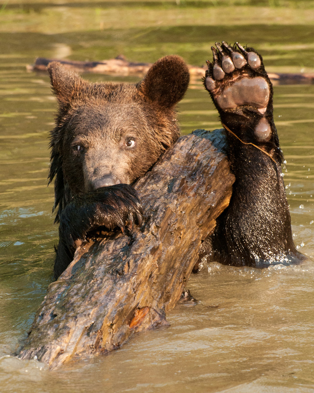 Grizzly Greeting
