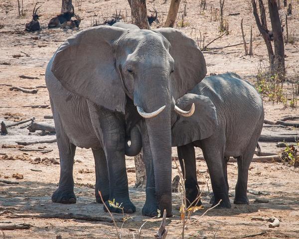Nursing Mother, Chobe National Park by Jack Kleinman