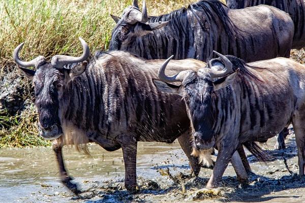Serengeti N.P. Bilila (10) - TANZANIA - François Scheffen Photography
