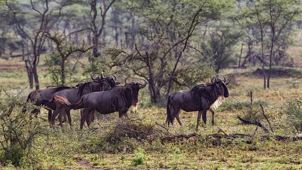 Serengeti N.P. Kusini (4) - TANZANIA - François Scheffen Photography