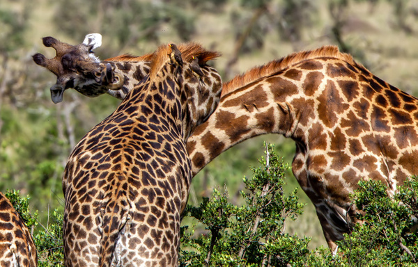 Serengeti N.P. Kusini (8) - TANZANIA - François Scheffen Photography