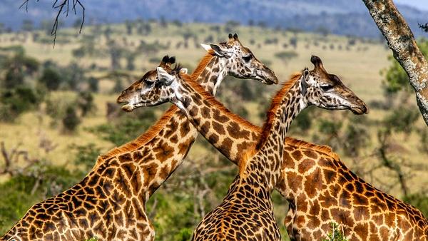 Serengeti N.P. Kusini (9) - TANZANIA - François Scheffen Photography