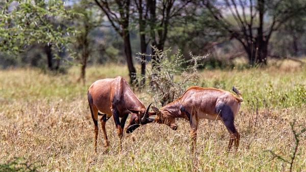 Serengeti N.P. Kusini (12) - TANZANIA - François Scheffen Photography