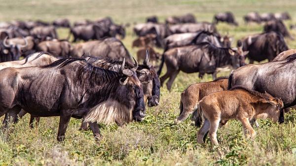 Serengeti N.P. Kusini (18) - TANZANIA - François Scheffen Photography