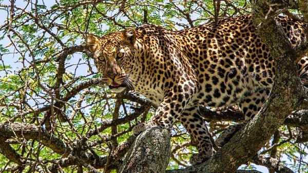 Serengeti N.P. Kusini (19) - TANZANIA - François Scheffen Photography