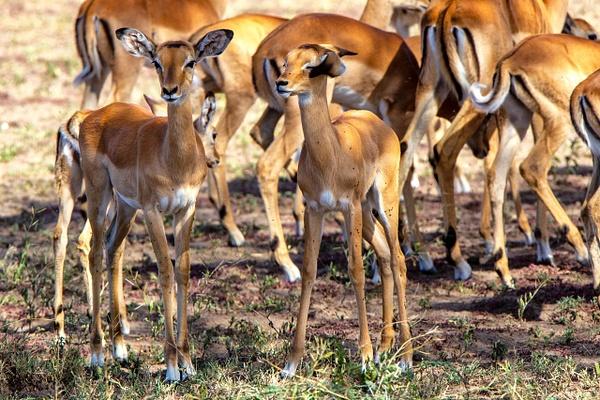 Serengeti N.P. Kusini (21) - TANZANIA - François Scheffen Photography