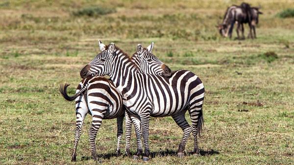 Serengeti N.P. Kusini (22) - TANZANIA - François Scheffen Photography